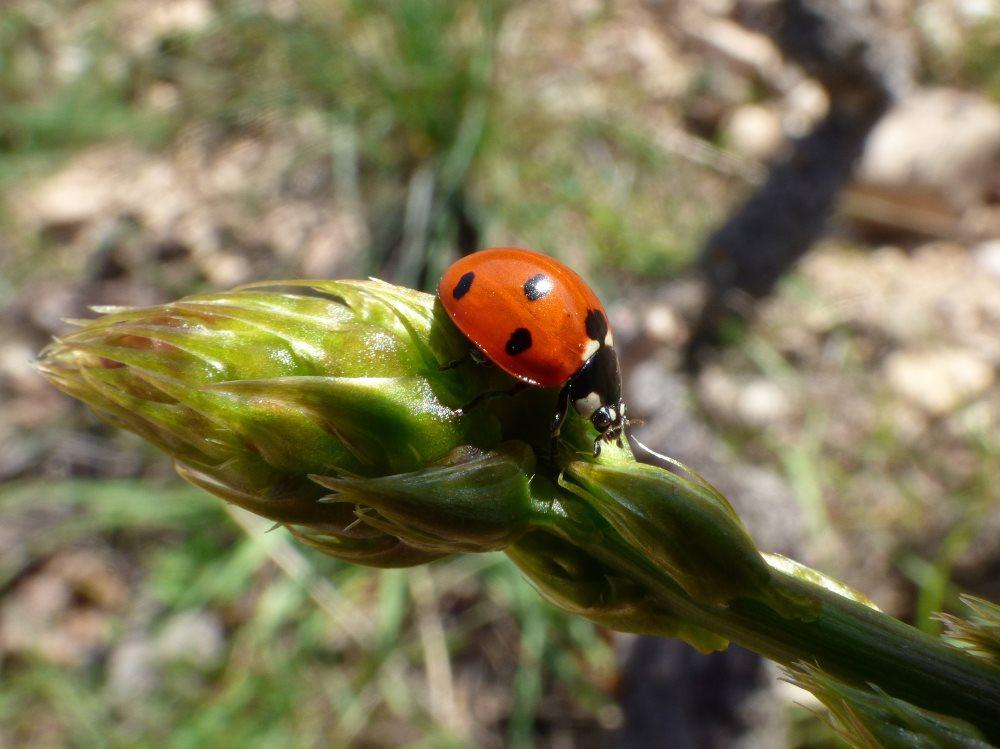 Ein Marienkäfer sitzt auf grünem Spargel